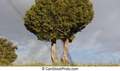 синий, вечнозеленый, можжевельник, против, небо, ветви, ...