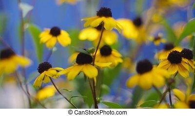 синий, задний план, желтый, daisies