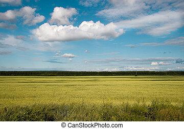 синий, золотой, пшеница, поле, небо