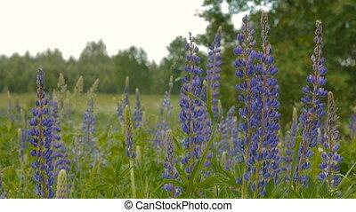 синий, люпин, meadow.