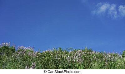 синий, небо, против, dittany, задний план, (dictamnus, albus)