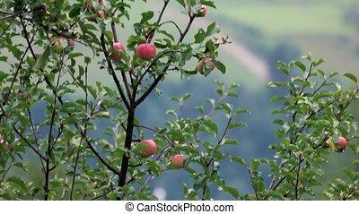 синий, небо, apples, background., яблоко, против, ветви, дерево