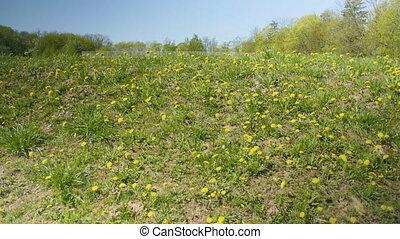 синий, поле, dandelions, небо, желтый