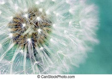 синий, пушистый, seeds, над, одуванчик