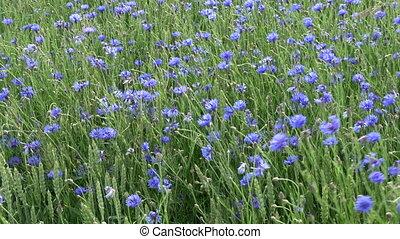 синий, пшеница, многие, поле, cornflowers, ветер