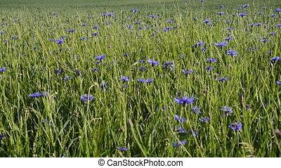 синий, цвести, цветок