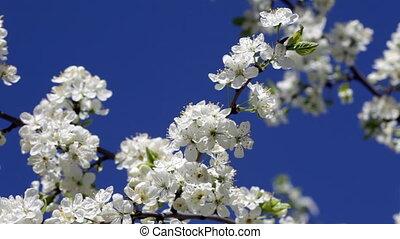 синий, blossoming, против, вишня