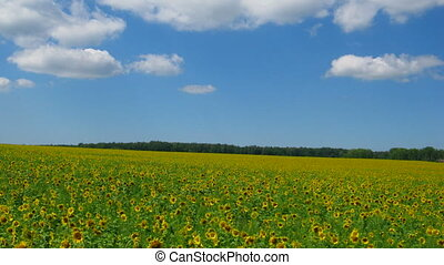 синий, clouds, небо, поле, sunflowers, под
