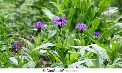 синий, cornflowers, зеленый, луг
