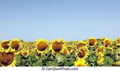 синий, sunflowers, небо, ветер