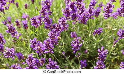 сирень, за работой, lavender., пчела, honey., summerfeeling