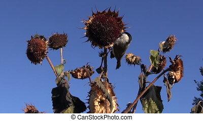 сиська, picking, seeds, болотный, подсолнечник