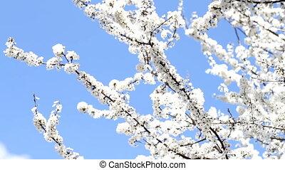 слива, дерево, blooming