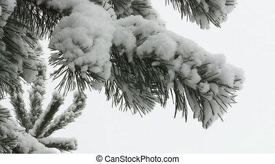 снег, прут, ель