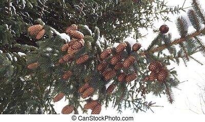 снежно, вечнозеленый, cones.