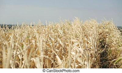 созревший, кукуруза, небо, перемещение, 4k, задний план, ветер
