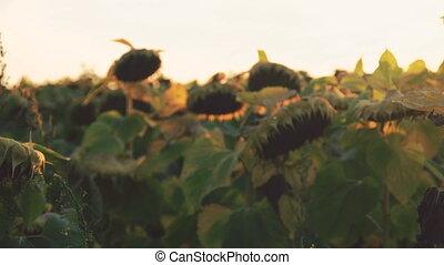 созревший, небо, background., закат солнца, 4k, sunflowers