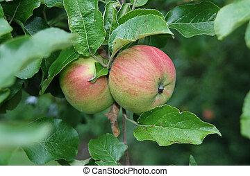созревший, apples, на, дерево