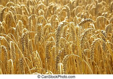 солнце, пшеница, поле