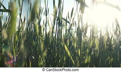 солнце, пшеница