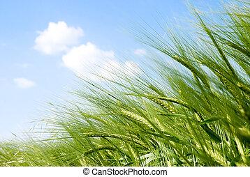 солнце, spikes, зерновой