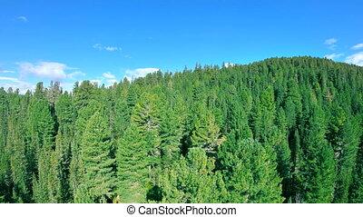 сосна, вверх, лес, зеленый, flies, над, трутень