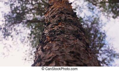 сосна, леса, хобот, дерево