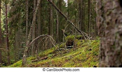 сосна, место действия, или, натуральный, леса, лес