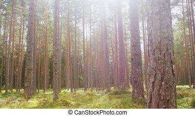 сосна, место действия, леса, лес, или, натуральный