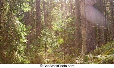 сосна, натуральный, лес, место действия, или, леса