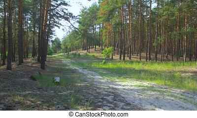 сосна, след, лес