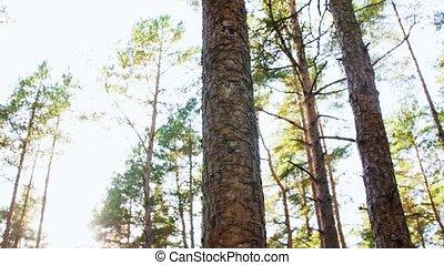 сосновый лес, выращивание, trees, хвойный