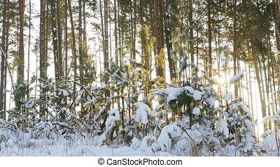 сосновый лес, зима, trees