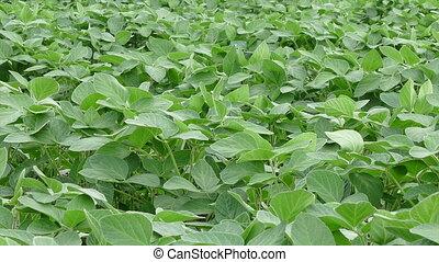 соя, сельское хозяйство, растение, поле