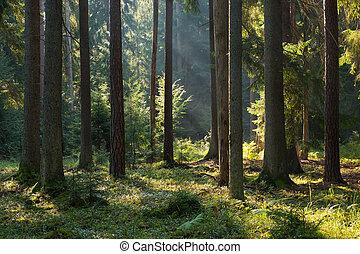 старый, хвойный, стоять, of, bialowieza, лес, в, лето, утро