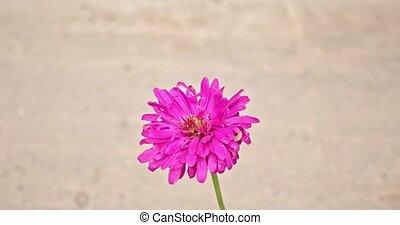 стрелять, макрос, цветок, регулярный, хризантема