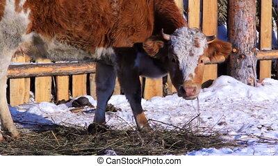сухой, зима, корова, снег, обнаружение, трава, grazing, луг