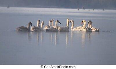 танец, swans