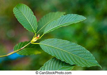 тип, (mitragyna, зеленый, speciosa), kratom, лекарственный