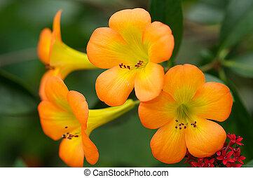 тропический, рододендрон, в, цветение