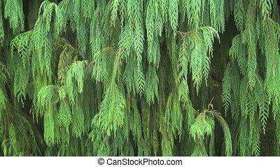 тропический, needles, дерево, drooping, хвойное дерево, азия