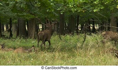 тростник, олень, европейская