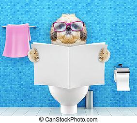 туалет, пищеварение, запор, сидящий, проблемы, собака, shitzu, сиденье, журнал, газета, чтение, или