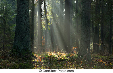туманный, хвойный, осенний, стоять, bialowieza, восход, лес