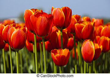 тюльпан, весна, красивая