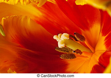 тюльпан, весна