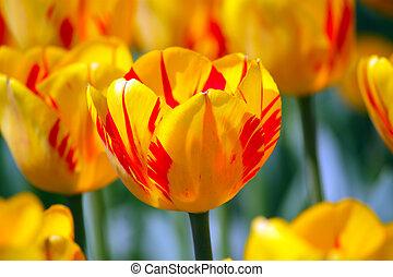 тюльпан, желтый