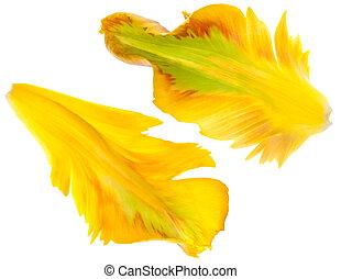тюльпан, желтый, petals