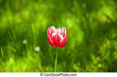 тюльпан, красный