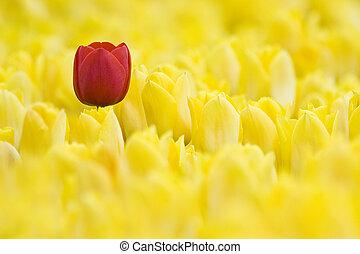 тюльпан, один, красный, желтый, поле